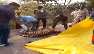 One-year-old tigress killed in Panna reserve