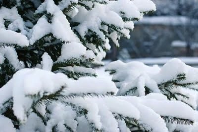 Christmas trees stay green because of photosynthetic shortcut