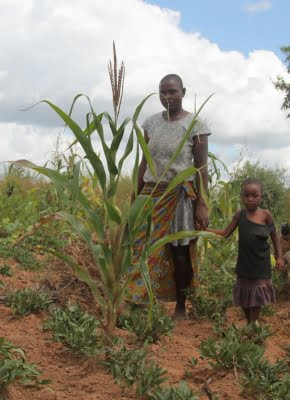 Ozone pollution harms maize crops: Study