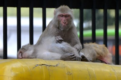 US boosts funding to breed more test monkeys in wake of Covid