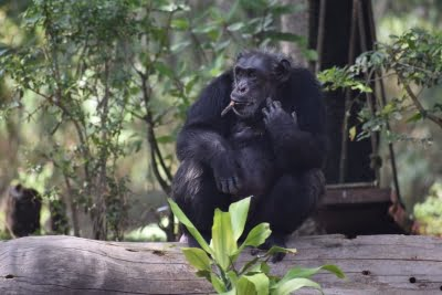 Why humans have shorter stride than chimps