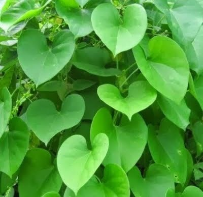 IISER Bhopal genome sequencing immune boosting herb giloy